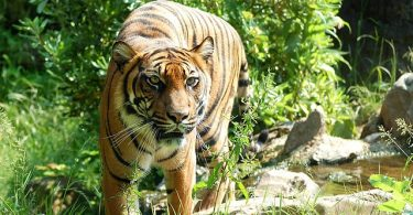 la tigre non è un animale da fare arrabbiare