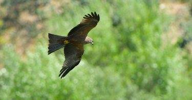 Black Kite (Milvus migrans) Superb image of a Black Kite in flight, with green vegetation background. Monfrague NP, Extremadura, Spain